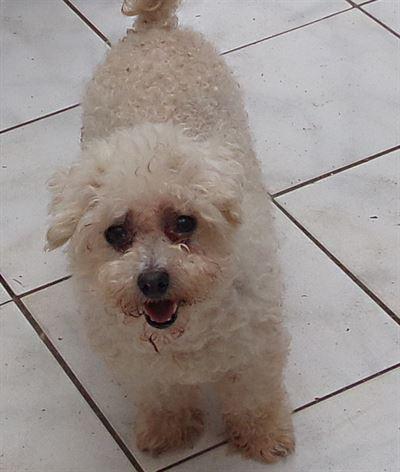 Boloňský psík k adopci 2 305e3adc57