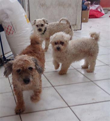 Dvojice boloňských psíků a bišonka k adopci 0b04855be6