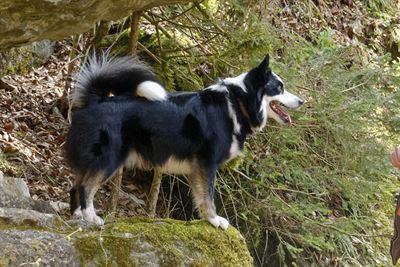 Islandský pes, Eski aus Vinkona. Foto Harald Russig