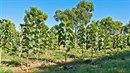 Plantáž na teakové dřevo
