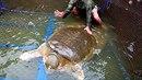 Ve vietnamské Hanoji ve věku zhruba sto let zahynula posvátná želva Cu Rua. Pro...