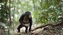 Němečtí vědci zachytili šimpanze během podivných rituálů u starého stromu. Je...