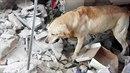 Čtyřletý labrador Dayko pomáhal v Ekvádoru zachraňovat oběti zemětřesení. Po...