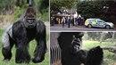 Londýnská ZOO zažila drama. Gorilí samec Kumbuka dostal amok a proboural se ze...