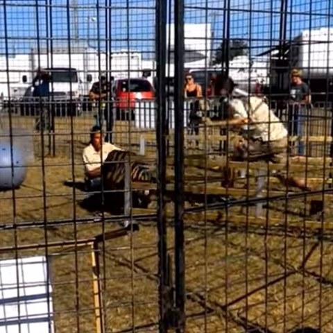 76f80565439 Cirkusový tygr Gándhí během výcviku napadl svou cvičitelku a začal jí  vláčet po.