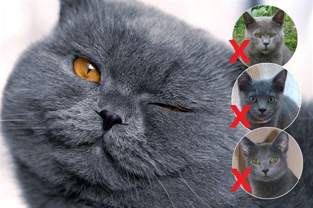 Název tohoto plemena Tlustá kočka musí cvičit!