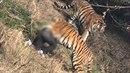 Muž v čínské ZOO skočil do tygřího výběhu. Že to byl špatný nápad zjistil hned...