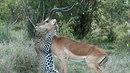 Leopardí polibek smrti