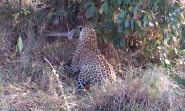 Leopardí kotě si vyšláplo na obří krajtu! Kdo vyhrál souboj na život ... 061cad45b7
