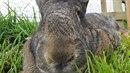 Další z rodu slavných králíků,Jeff. Sežere prý 12 mrkví za den. To už je...