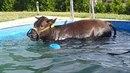Kráva si užila bazén.