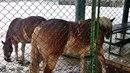Po dilnici v opavském Komárově volně pobíhali dva koně..