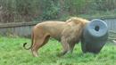 Lev nemohl dostat hlavu z barelu.