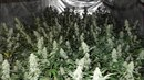 Policisté na Karlovarsku odhalili tři pěstírny konopí.