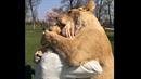 Lvi jsou opravdu zamilovaní do své paničky.