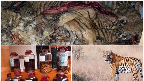 Zabíjení a porcování tygrů je neskutečně výnosný kšeft. Bohužel.