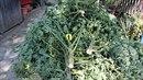 Policisté sklidili na pozemku v jedné obci na Přerovsku deset rostlin marihuany.