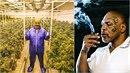 Z bývalého boxera Mikea Tysona je doslova marihuanový král!