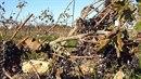 Vinná réva je sice na jihu Francie na leccos zvyklá, letošní horka jí však...