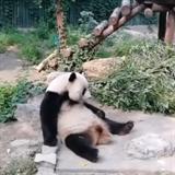 Tahle panda asi moc aktivity nepobrala.