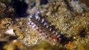 Ohnivý červ (Hermodice carunculata) se stále častěji objevuje v pobřežních...