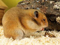 Křeček je mrňous, ale pokud mu nebudete pravidelně vyklízet pelech, nepříjemný zápach vás nemine.
