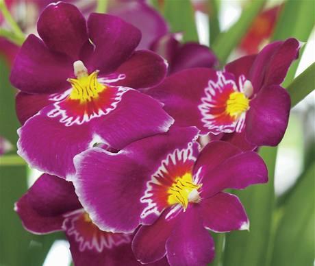 Černá orchidej sex