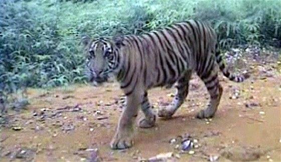 tygr tygr randění