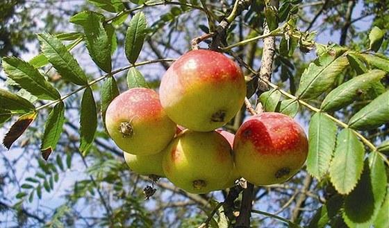 Obchod s jablky seznamka