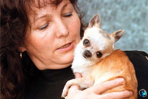 87b2c5a713d Chovatelka nejmenší čivavy se musí omluvit veterináři