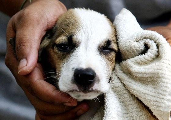 Vodu z uší si pes vytřepe i po koupání, zvukovod a boltce mu pak můžete jemně...
