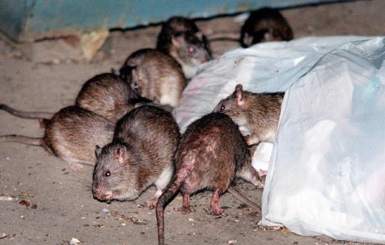 Výsledek obrázku pro potkan png