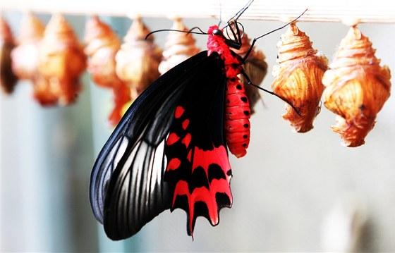 Výsledek obrázku pro motýli fata morgana
