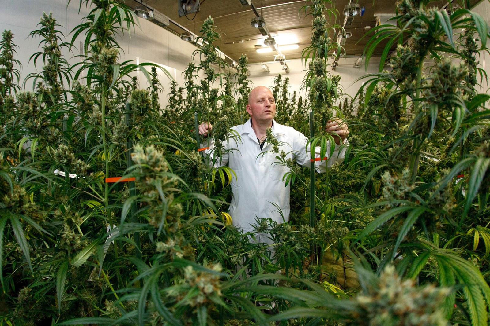 Fotogalerie: Léčebná marihuana, Bedrocan, Holandsko