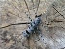Tesařík alpský (Rosalia alpina) je vzácným obyvatelem zachovalých bukových a