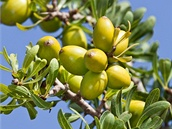 Plody argánie trnité vypadají jako olivy. Stromy rostou pouze v jihozápadní...