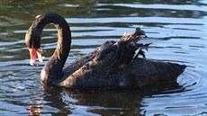 Černá labuť lesbička