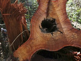 A tree, which was illegally felled, lies on the floor of the Amazon rainforest...