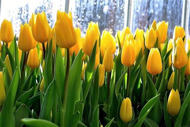 Tulipány z Amsterodamu jako podvod. Vykvete jeden ze sta