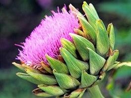 Artyčok zeleninový - Artyčok má výrazné a okrasné květy.