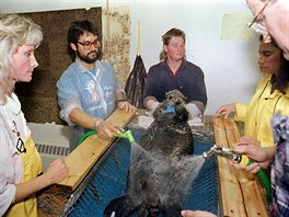 7 In this April 18, 1989 file photo, a rescued sea otter is restrained and...