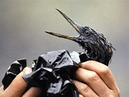 5 In this April 1989 file photo, an oil soaked bird is examined on an island in...
