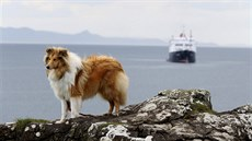 A collie dog is seen on the island of Eigg, Inner Hebrides, Scotland May 25,...