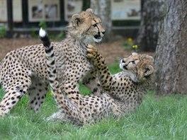Malí gepardi se ve výběhu honí a perou. Rozruch zaujal i sousední zvířata (15....