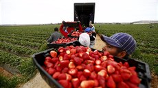 Fruit pickers hold baskets of strawberries as they line up before weighing...