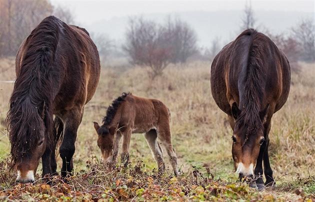 Pasoucí se divoké koně a pratury můžete sledovat v přímém přenosu