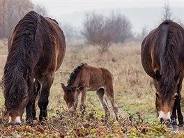 V říjnu se na pastvinách u Milovic narodilo první divoké hříbě. Jedna z klisen...