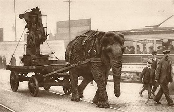 Sloni za světové války pomáhali tvrdou prací válečnému hospodářství -  iDNES.cz