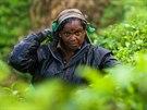 Na čajovníkových plantážích pracují nejčastěji tamilské ženy.