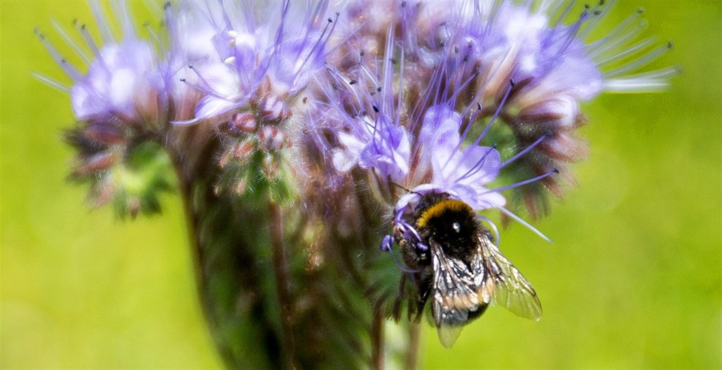 Včely, čmeláci a další hmyz vymírají, přitom se bez nich neobejdeme. Hrozí kolaps ekosystému postaveném na koevoluci hmyzu a většiny kvetoucích rostlin, jak se nastavoval miliony let.